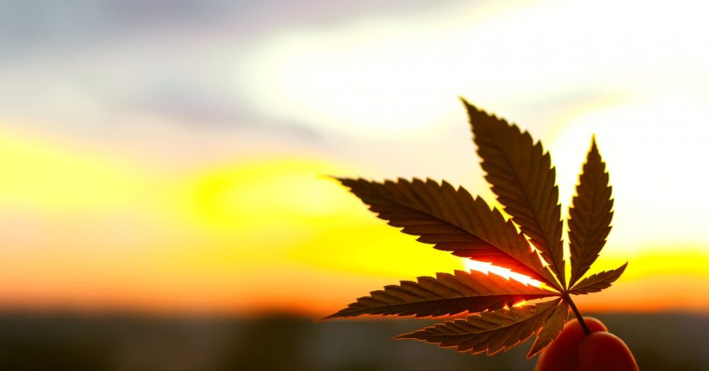 A hemp leaf with sunlight in the background
